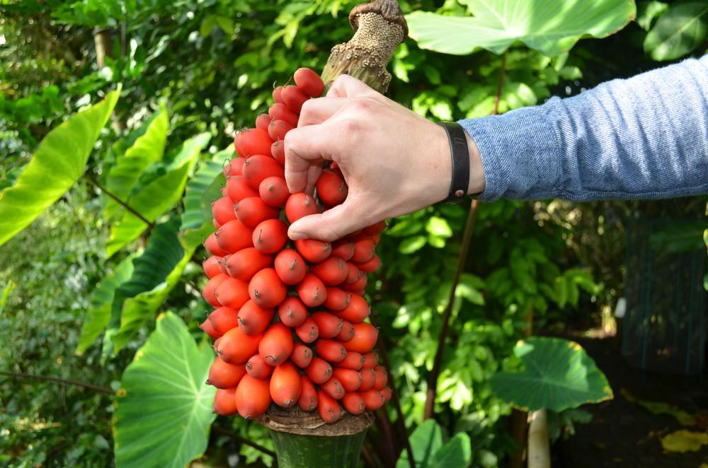 Het plukken van de rijpe vruchten, Plantentuin Meise