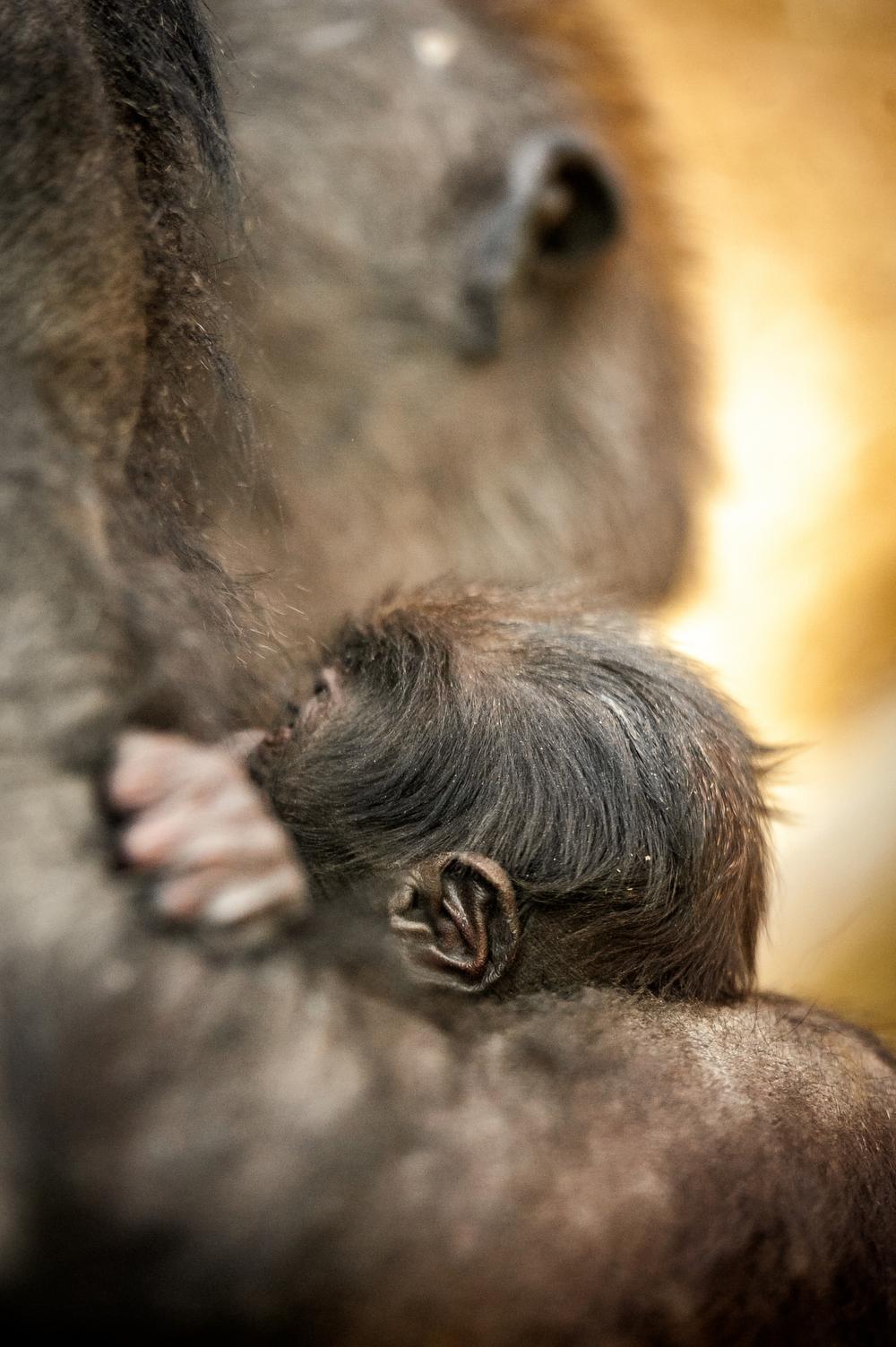 Gezinsuitbreiding in Zoo Antwerpen en Planckendael